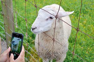 Brema, Bremerhaven - śledzie, kraby i ochronne owieczki