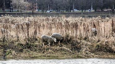 Wypas owiec na wyspie Wiślanej