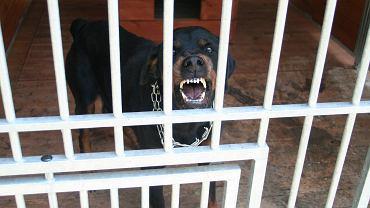 Agresywne psy. Zdjęcie ilustracyjne