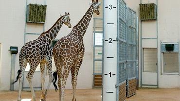 Żyrafiarnia w krakowskim zoo została otwarta 25 października 2013 r.