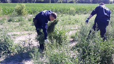 Policjanci znaleźli nad Wisłą ponad 330 kilogramów marihuany. Wyrywali krzaki przez dwa dni