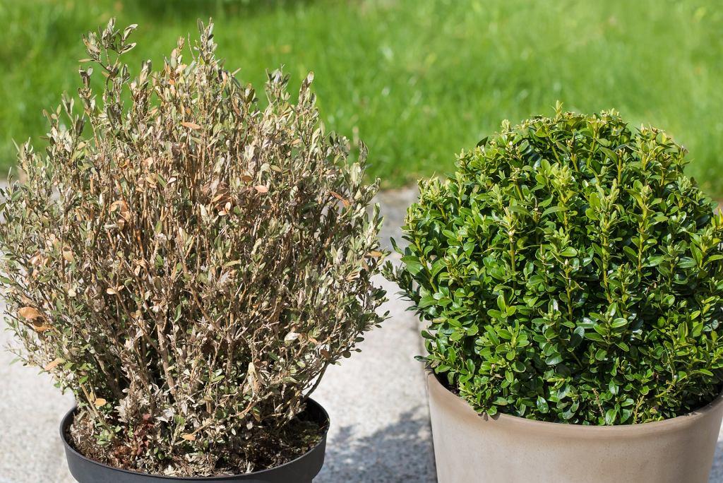 po lewej - bukszpan uschnięty przez ćmę bukszpanową; po prawej - bukszpan zdrowy