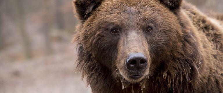Alaska. Niedźwiedź grizzly codziennie przez tydzień atakował mężczyznę