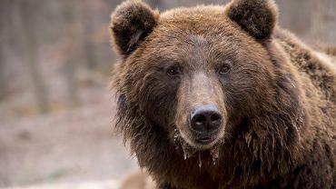 Niedźwiedź (zdjęcie ilustracyjne)