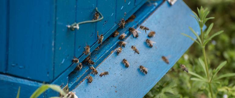 Truciciel pszczół zatrzymany. 34-latek nie przyznaje się do winy