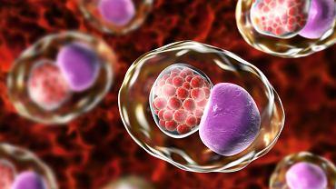 Chlamydia trachomatis wywołuje chlamydiozę, chorobę bakteryjną przenoszoną drogą płciową