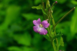 Wierzbownica drobnokwiatowa: właściwości, zastosowanie, przeciwwskazania