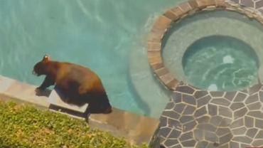 Niedźwiedź brunatny kąpał się w basenie na prywatnej posesji w Los Angeles