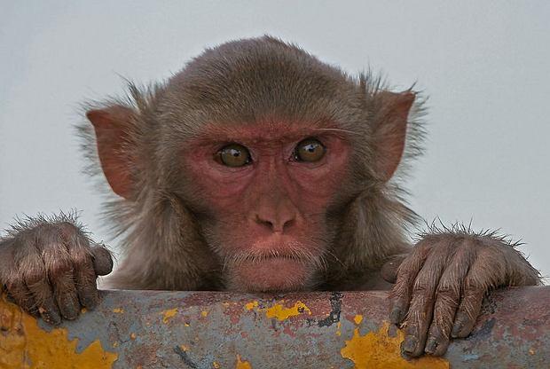Czy da się genetycznie poprawić inteligencję małp?