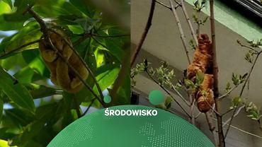 'Lagun' z Krakowa przypomina prawdziwe zwierzę - mrówkojadek jedwabisty