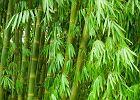 Bambus - zaproś egzotyczną roślinę do swojego ogrodu