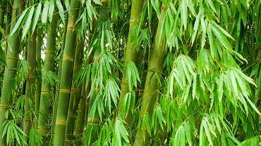 Bambus w soczyście zielonym kolorze