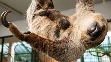 Leniwiec - młode urodzone w Zoo Wrocław z mamą