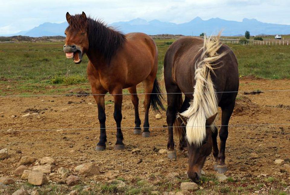 Współczesne konie na Islandii są prawdopodobnie potomkami tych, które służyły wikingom ponad 1000 lat temu