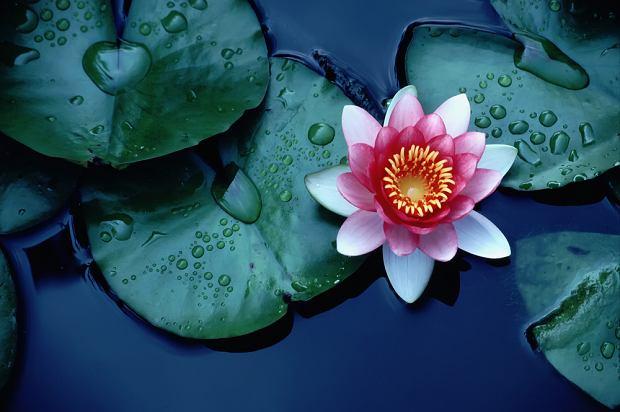 Znaczenie kwiatów - kwiat lotosu. Zdjęcie ilustracyjne