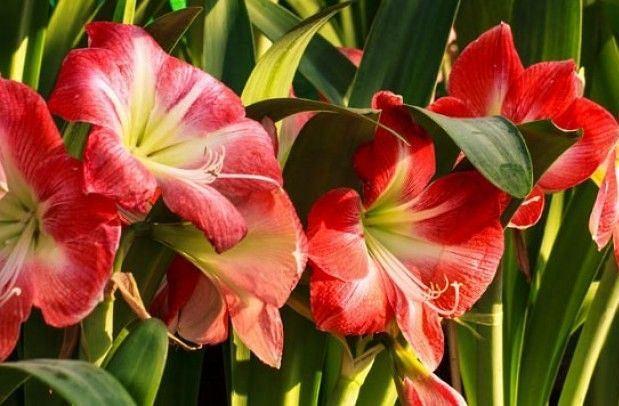 Amarylis: jak dbać o roślinę, by stała się ozdobą ogrodu?