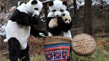 Naukowcy w strojach pand wkładają małą pandę do kosza, by przenieść ją do nowego środowiska życia - bardziej skomplikowanego i na większej wysokości. To początek drugiego etapu szkolenia mającego na celu wypuszczenie pandy na wolność. Badacze z Centrum Badań i Ochrony nad Pandami Wielkimi działającego na terenie parku narodowego i rezerwatu Wolong w chińskiej prowincjo Syczuan udają zwierzęta, bo nowe środowisko pandy jest pozbawione ingerencji człowieka.