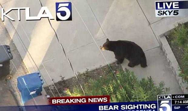Niedźwiedź w LA