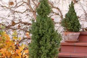 Iglaki, czyli zielono przez cały rok