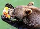 Niedźwiedź w rzymskim zoo Bioparco je mrożone owoce, które dla ochłody zaserwowali mu pracownicy ogrodu. - Zdjęcia
