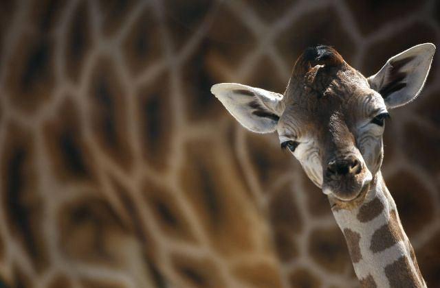 9- dniowa żyrafa na tle swojej mamy REUTERS/CHRISTIAN HARTMANN