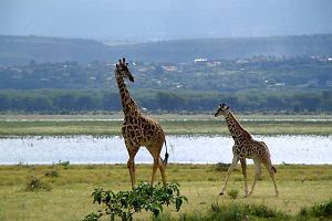 Kenijskie Elsamere. Spacer z żyrafą