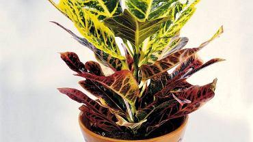 WYSTRÓJ WNĘTRZ - ROŚLINY WYMAGAJĄCE. Kroton potrzebuje wyrównanej temperatury oraz mnóstwo światła - gdy jest go za mało, liście tracą barwę. Nie lubi także suchego powietrza i podłoża. Co jakiś czas warto go zraszać.
