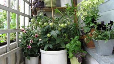 W obszernym pojemniku nawet zwykłe odmiany pomidorów wydadzą owoce.