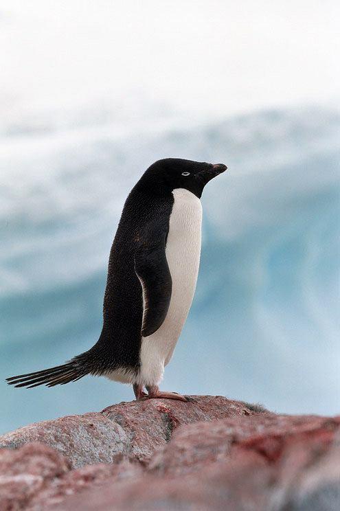 Pingwin białooki zwany też pingwinem Adeli
