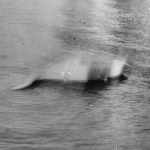 Zdjęcie, które ma przedstawiać potwora z Loch Ness