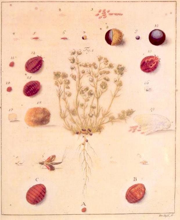 Czerwiec polski - owad z rodziny pluskwiaków  (Porphyrophora polonica, Margarodes polonicus)