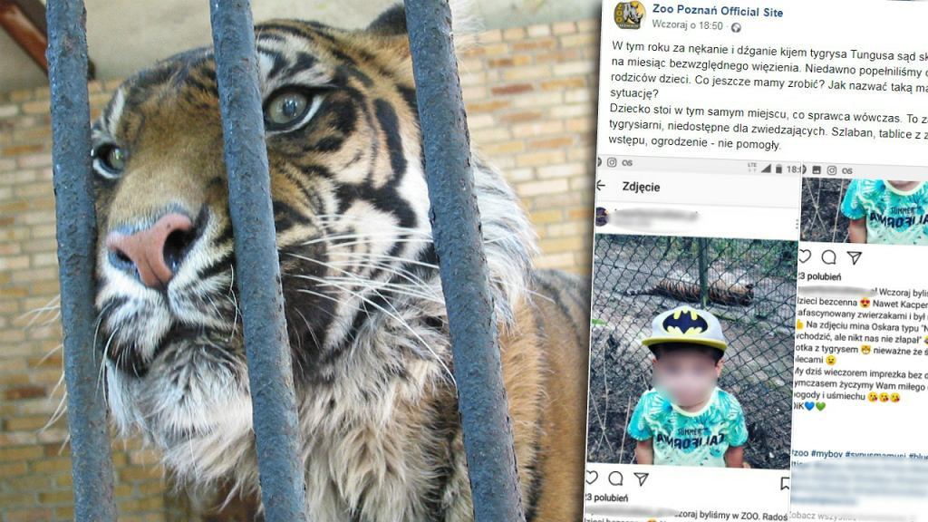 Dziecko na wybiegu tygrysów