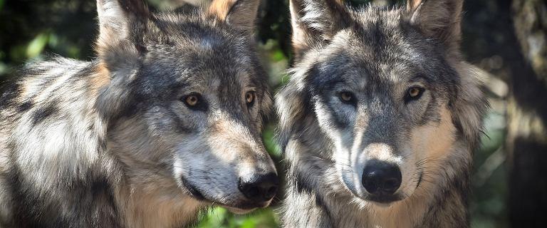 Wielkopolska. Wataha wilków żyje we wsi i atakuje zwierzęta domowe
