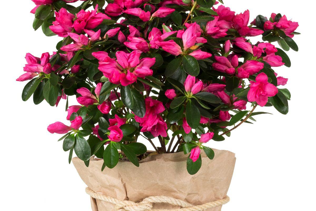Kwiaty Doniczkowe Do Domu Najpiekniejsze Rosliny Doniczkowe