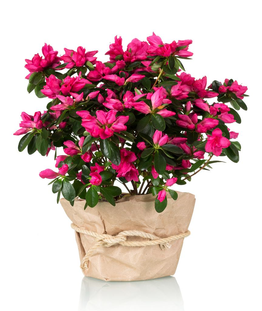 Kwiaty doniczkowe do domu - jednym z ich przedstawicieli jest azalia. Zdjęcie ilustracyjne, Laboko/shutterstock.com