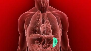 Śledziona oczyszcza organizm oraz wytwarza przeciwciała chroniące go przed infekcją