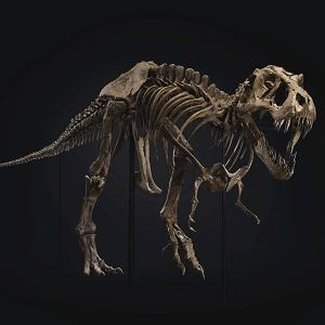 Stan. niemal kompletny szkielet tyranozaura