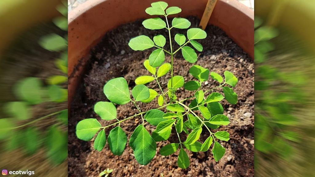 Moringa - drzewo życia.