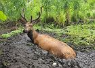 Puszcza Białowieska. Leśnicy z nadleśnictwa Browsk wyciągnęli jelenia z bagna