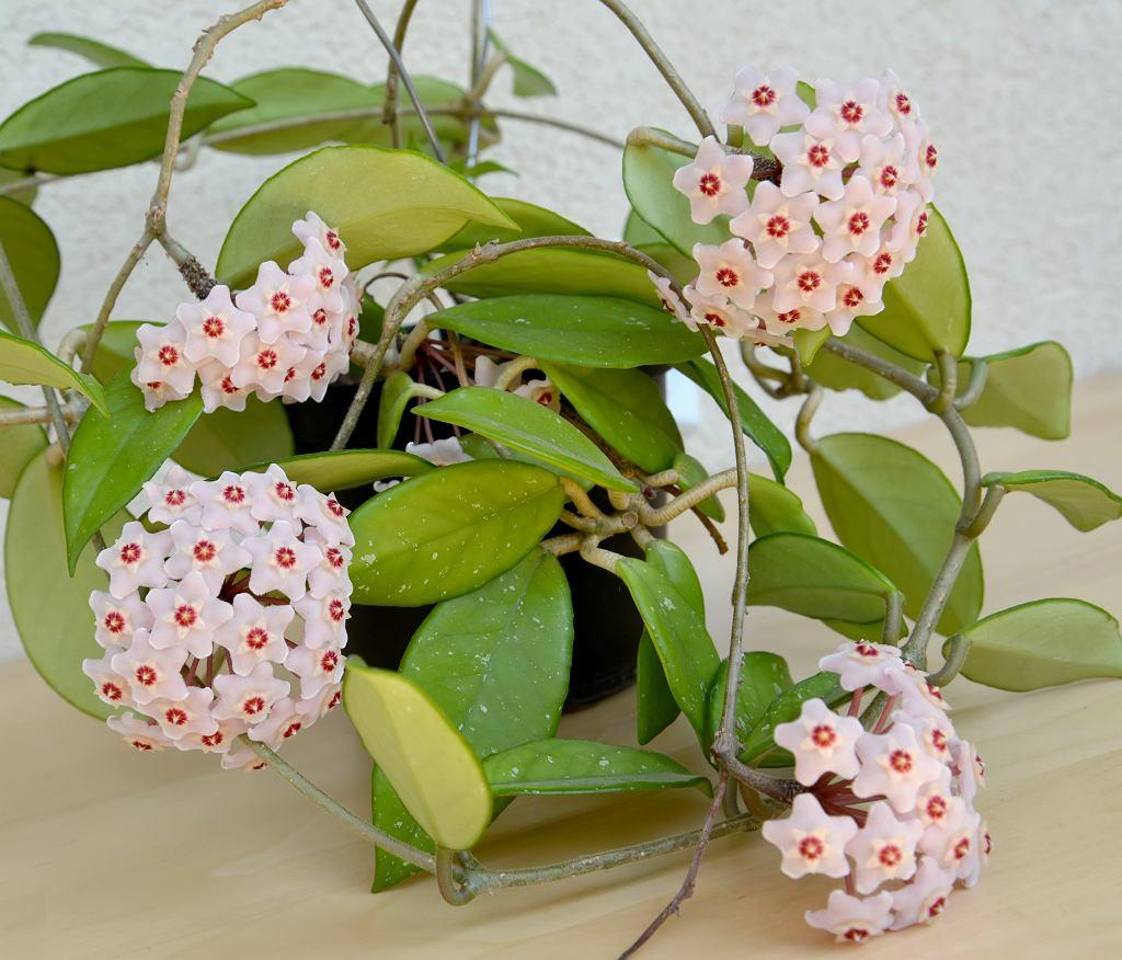 Hoja różowe: najpopularniejsza odmiana. Jest łatwa w uprawie. Zdjęcie ilustracyjne