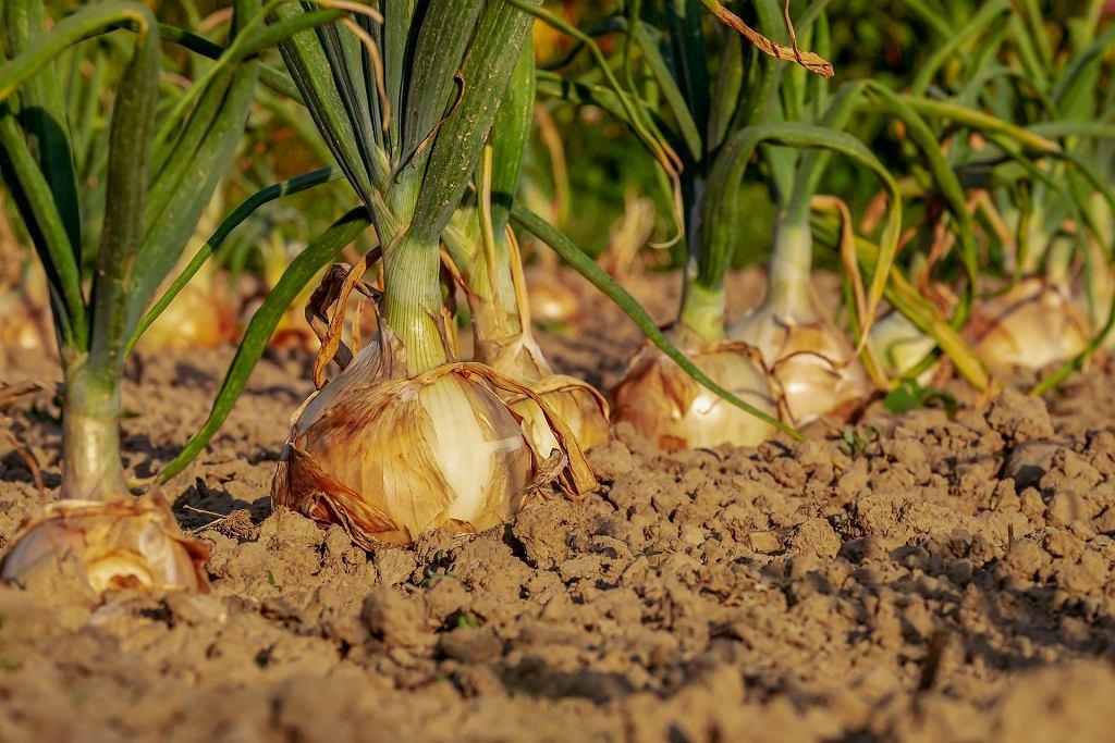 Kiedy zbieramy cebulę?