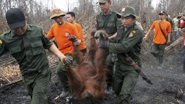 W pożarze ucierpiało wiele zwierząt. Na zdjęciu orangutan, który jest ewakuowany z terenów objętych pożarem