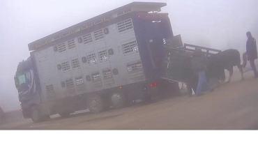 16.02.19, targ rolny w Bodzentynie. Handlarz kopie krowę wchodzącą na samochód