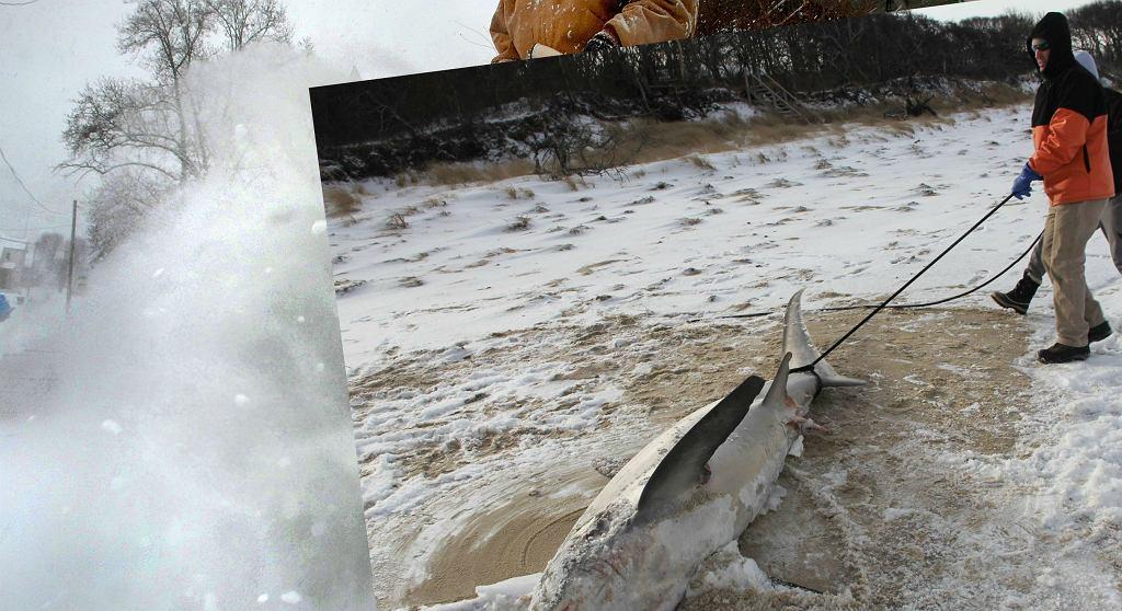 Rekin w USA prawdopodobnie umarł przez zimno