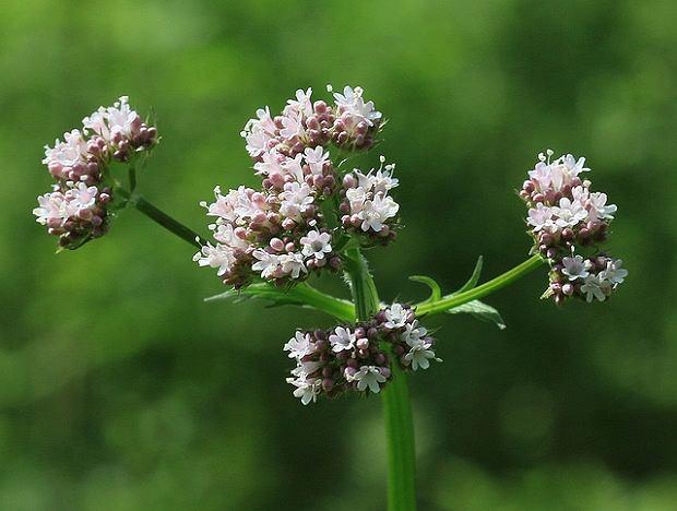 Kozłek lekarski (waleriana) to roślina o działaniu - między innymi - uspokajającym