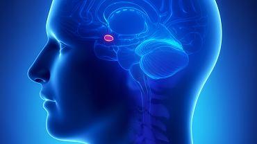 Ciało migdałowate, nazywane także jądrem migdałowatym, wchodzi w skład układu limbicznego i odpowiada przede wszystkim za emocje