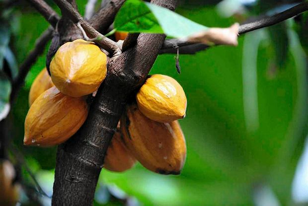 Owoce kakaowca