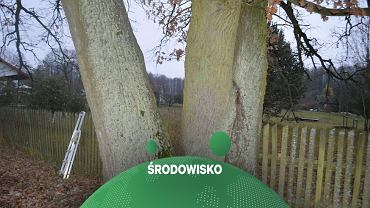 We wsi Puchły na Białostocczyźnie już od kilku lat trwa spór o wycinkę dwóch wiekowych dębów./Fot.: Fundacja Dzika Polska (Facebook)