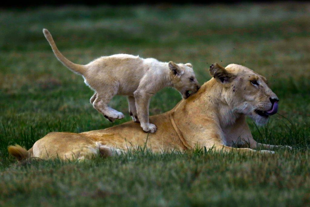 Lwiątko bawi się ze swoją matką w Lwim Parku w Johannesburgu