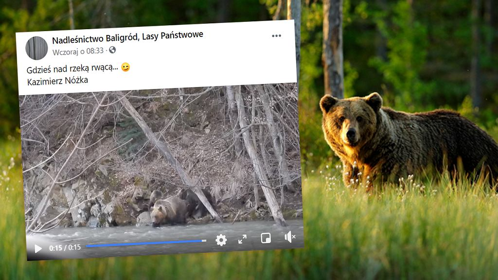 Niedźwiedzia rodzinka nad rzeką